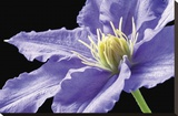 Violette Klematis Bedruckte aufgespannte Leinwand von Amalia Veralli