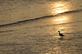 Sunrise over Coastal Mudflats with Shelduck Feeding, Campfield Marsh, Solway Firth, Cumbria, UK Photographic Print by Peter Cairns