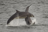 Bottle-Nosed Dolphins (Tursiops Truncatus) Breaching, Fortrose, Moray Firth, Scotland, UK, August Photographic Print by Peter Cairns