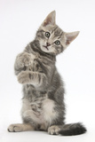 Tabby Kitten, Max, 9 Weeks Old, Standing Up with Raised Paws Photographic Print by Mark Taylor