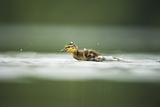 Mallard (Anas Platyrhynchos) Duckling on Lake, Derbyshire, England, UK, June Photographic Print by Andrew Parkinson