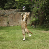 Ginger Kitten Leaping to Catch a Soap Bubble Photographic Print by Mark Taylor