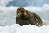 Bearded Seal (Erignathus Barbatus) Portrait, Svalbard, Norway, June 2008 Photographic Print by de la