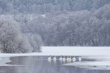 Group of Mute Swans (Cygnus Olor) on Partially Frozen Loch Laggan, Creag Meagaidh, Scotland, UK Photographic Print by Peter Cairns