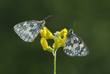 Two Marbled White Butterflies Resting on Meadow Vetchling, Powerstock Common Dwt Reserve, UK Photographic Print by Guy Edwardes