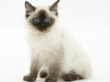 Ragdoll Kitten with Deep Blue Eyes, 12 Weeks, Sitting Photographic Print by Mark Taylor