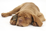 Dogue De Bordeaux Puppy, Freya, 10 Weeks, Sleeping with Grey Squirrel under Her Ear Photographic Print by Mark Taylor