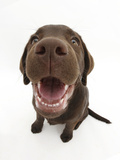 Chocolate Labrador Puppy, Inca, Looking Up, Nose Close-Up Photographic Print by Mark Taylor