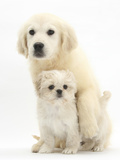 Golden Retriever Puppy, 16 Weeks, with Cream Shih-Tzu Puppy, 7 Weeks Photographic Print by Mark Taylor
