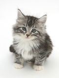 Maine Coon-Cross Kitten, 7 Weeks, Looking Up Photographic Print by Mark Taylor