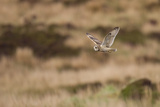Short-Eared Owl (Asio Flammeus) Flying over Moorland, North Uist, Outer Hebrides, Scotland, May Photographic Print by Peter Cairns
