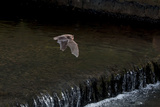 Adult Daubenton's Bat (Myotis Daubentoni) Flying over a Weir, England, UK, September Photographic Print by Dale Sutton