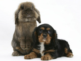Black-And-Tan Cavalier King Charles Spaniel Puppy and Lionhead Rabbit Photographic Print by Mark Taylor