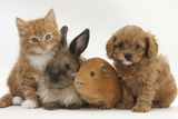 Cavapoo (Cavalier King Charles Spaniel X Poodle) Puppy with Rabbit, Guinea Pig and Ginger Kitten 写真プリント : マーク・テーラー