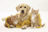Yellow Labrador Puppy with Two Ginger Kittens with Tinsel Photographic Print by Mark Taylor