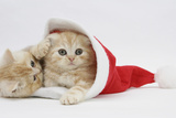 Two Ginger Kittens Playing in a Father Christmas Hat Photographic Print by Mark Taylor