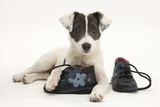 Blue-And-White Jack Russell Terrier Puppy, Scamp, with Child's Shoes Photographic Print by Mark Taylor