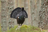 Capercaillie (Tetrao Urogallus) Adult Male Displaying. Cairngorms Np, Scotland, February Photographic Print by Mark Hamblin
