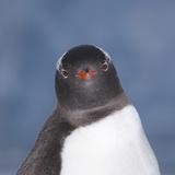 Gentoo Penguin (Pygoscelis Papua) Portrait, Antarctica Photographic Print by Mark Taylor