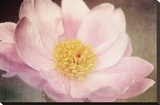 Peony in the Park Stretched Canvas Print by Dawn LeBlanc