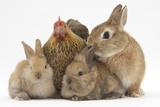 Partridge Pekin Bantam with Sandy Netherland Dwarf-Cross Rabbit, and Baby Lionhead Cross Rabbits Photographie par Mark Taylor