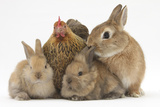 Partridge Pekin Bantam with Sandy Netherland Dwarf-Cross Rabbit, and Baby Lionhead Cross Rabbits Photographic Print by Mark Taylor