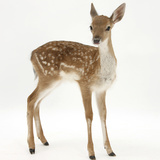 Fallow Deer (Dama Dama) Portrait of Fawn Standing Photographic Print by Mark Taylor