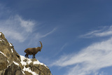 Alpine Ibex (Capra Ibex Ibex) Standing on Cliff Top in Snow, Gran Paradiso Np, Italy, November Photographic Print by E. Haarberg