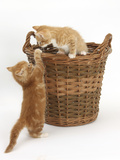 Two Ginger Kittens Playing in a Wicker Basket Photographic Print by Mark Taylor
