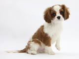Blenheim Cavalier King Charles Spaniel Puppy, 11 Weeks Photographic Print by Mark Taylor