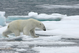 Polar Bear (Ursus Maritimus) Walking over Sea Ice, Moselbukta, Svalbard, Norway, July 2008 Papier Photo par de la
