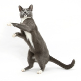 Blue-And-White Burmese-Cross Cat, Levi, Reaching Up Photographic Print by Mark Taylor