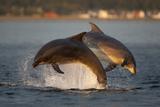 Bottlenose Dolphin (Tursiops Truncatus) Two Breaching in Evening Light, Moray Firth, Scotland, UK Fotografisk trykk av John Macpherson