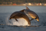 Bottlenose Dolphin (Tursiops Truncatus) Two Breaching in Evening Light, Moray Firth, Scotland, UK Photographic Print by John Macpherson