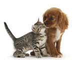 Tabby Kitten, Stanley, 8 Weeks, Nose to Nose with Ruby Cavalier King Charles Spaniel Bitch, Star Photographic Print by Mark Taylor