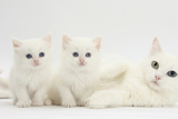 White Maine Coon-Cross Mother Cat, and Her White Kittens Photographic Print by Mark Taylor