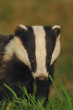 Portrait of an Adult Badger (Meles Meles), Derbyshire, UK Photographic Print by Andrew Parkinson
