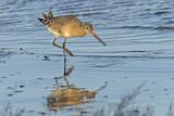 Black-Tailed Godwit (Limosa Limosa) Adult in Winter Plumage Feeding on Mudflats, the Wash, UK Photographic Print by Chris Gomersall