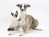 Whippet Bitch, with Siamese Kitten, 10 Weeks Photographic Print by Mark Taylor