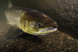 Female Atlantic Salmon (Salmo Salar) Migrating Up River, River Caldew, Cumbria, England, November Photographic Print by Linda Pitkin
