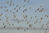 Flock of Lapwing (Vanellus Vanellus) in Flight, Turning Together in Evening Light, Norfolk, UK Photographie par Andrew Parkinson