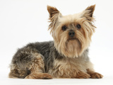 Yorkshire Terrier Against a White Background Photographic Print by Mark Taylor