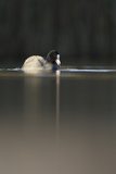 Coot (Fulica Atra) on Water in Evening Light, Fife, Scotland, UK, November Photographic Print by Peter Cairns