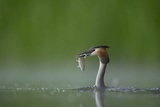 Great Crested Grebe (Podiceps Cristatus) Adult with Fish Prey, Derbyshire, UK, June Photographic Print by Andrew Parkinson
