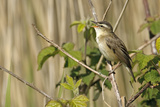 Sedge Warbler (Acrocephalus Schoenobaenus) Adult Perched, Singing, Norfolk, UK, May Photographic Print by Chris Gomersall