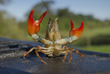 Signal Crayfish (Pacifastacus Leniusculus) in a Defensive Posture after Being Caught River Till, UK Fotografisk tryk af Rob Jordan