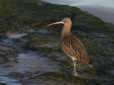 Curlew (Numenius Arquata) on Beach, Wirral, England, UK, December Photographie par Richard Steel