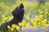 Arctic Fox (Vulpes - Alopex Lagopus) Barking in a Wild Flower Meadow, Hornstrandir, Iceland Photographic Print by O. Haarberg