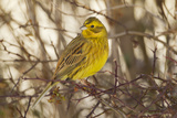 Yellowhammer (Emberiza Citrinella) Male Perched. Scotland, UK, December Photographic Print by Mark Hamblin