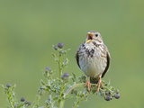 Corn Bunting (Miliaria Calandra) Singing, Formby, Lancashire, England, UK, June Photographic Print by Richard Steel